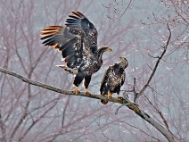 adolescent-bald-eagles-on-fox-river_1140_atlas-coffe-mill