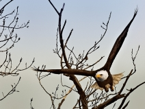 bald-eagle-on-fox-river_7957_atlas-coffee-mill