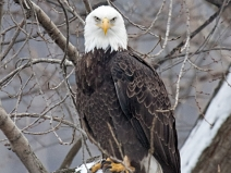 bald-eagle-on-the-fox-river_6211_thousand-islands