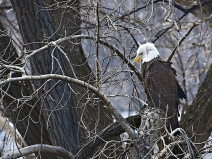 bald-eagle_9170_thousand-islands