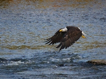 bald-eagle_fox-river_3769_atlas-coffe-mill