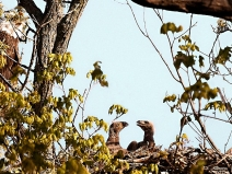 eaglets-on-fox-river_6728_