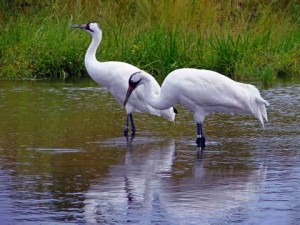 FWHP whooping crane2